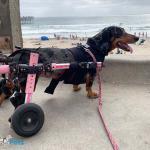Weenon in Dachshund Wheelchair