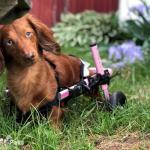 Faye Rollin' in Dachshund Dog Wheelchair
