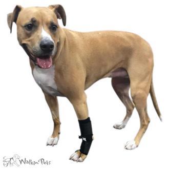 Rent Dog Wheelchairs | Walkin' Wheels Dog Cart Rentals