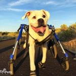 Duke and Friends in Wheelchairs