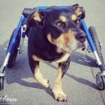 Joann the Wonder Pup in MedLarge Wheelchair