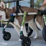 Nodder the Husky in MedLarge Quad Wheelchair