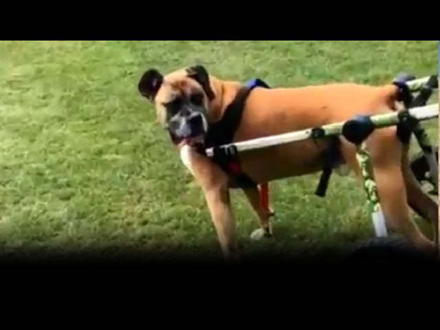 Walkin' Wheels | Dog Wheelchair Reviews | Handicapped Pets