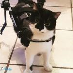 Bonny in Cat Wheelchair
