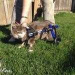 Cat Wheelchair