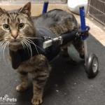 Herb in Cat Wheelchair