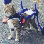 Meatballon in Cat Wheelchair