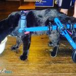Pete in Walkin' Wheels Cat Wheelchair