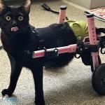 Sylvester in Walkin' Cat Wheelchair