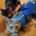 Disabled cats from Transylvania in Walkin' Wheels Cat Wheelchair