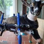Timmy the Goat Belly Support
