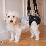 Piper in Walkin Lift Rear Harness