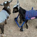 Mia & Timmy the Goats
