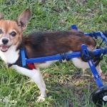 Speedy in a Mini Wheelchair