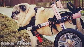 Maya the Pug in Small Dog Wheelchair
