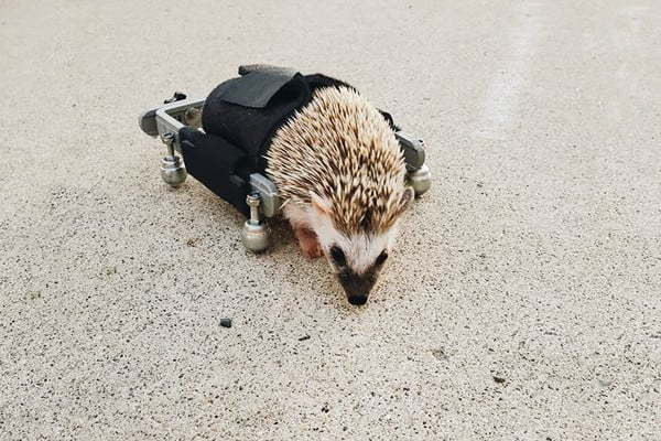 Paralyzed at Birth: Baby Hedgehog Walks for First Time